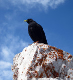 Alpine chough- looking for our lunch!