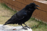 Ravens abound in the Rockies!