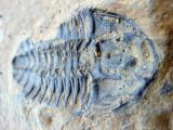 Burgess Shale trilobite