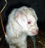 Heidi (goat kid)