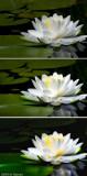Michael Shpuntov's Water lily