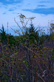 Honey Locust, Eastern Red Cedar and Other Prairie Flora