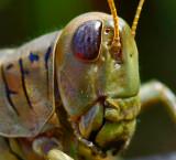A young hopper