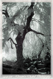 Fairytale Tree in Infrared