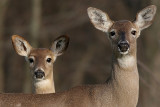Mother and Yearling