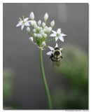 Bee on a garlic chive.jpg