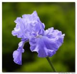 Blue Iris 1 copy.jpg