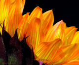 Small Orange Sunflower
