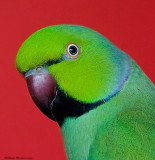 Doopy DoDoopy Do (African Ring-Neck Parakeet)