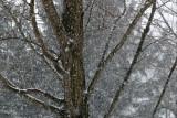 Maple Tree in Winter