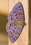 Black moth.
