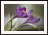 Purple joy...