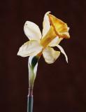 Wilted Daffodil