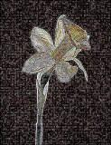 Oversharpened daffodil