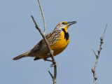 Meadowlark Singing