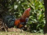 Unofficial Bird of Kauai.JPG