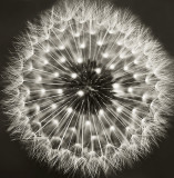 The Dandelion in Black and White