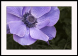 My first anemone this year...