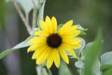 vibrant sunflower???