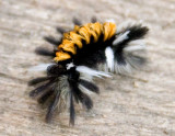 Milkweed Tussock Moth
