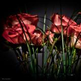 Bi-colored Roses