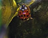 Ladybird, Ladybug, or Asian Death Beetle?