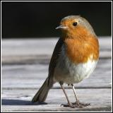 Another robin shot