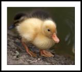 Golden duckling
