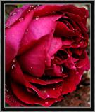 Rose 'Baron Girod de l'Ain'