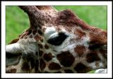 june 7 giraffe