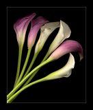 Miniature Callas