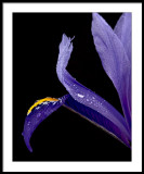 Dewy Iris..