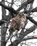 Our Visiting Barred Owl