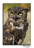 284Great Horned Owl