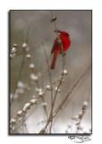 Cardinal in Snow II