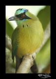 283:366Blue-crowned Motmot
