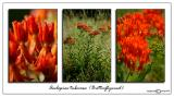 Aesclepias tuberosa(Butterflyweed)