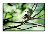 Hummingbird Morning II
