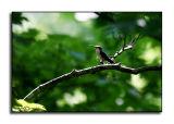 Hummingbird Morning I