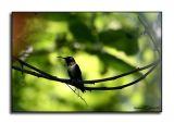 Humminbird Morning III