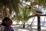 Reisdent frigate bird, Palmerston