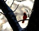 Cardinal in Ice