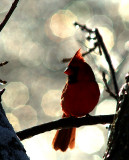 Cardinal in Ice (Crop)