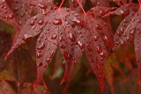 Rainy day acer revisited