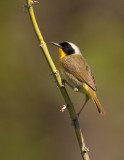 Parulines / Warbler