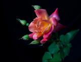Une rose pour ...