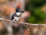 Martin pêcheur / Belted Kingfisher
