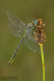 Gomphus pulchellus