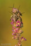 Eucera elongatula