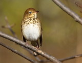 Grive solitaire, Hermit Thrush